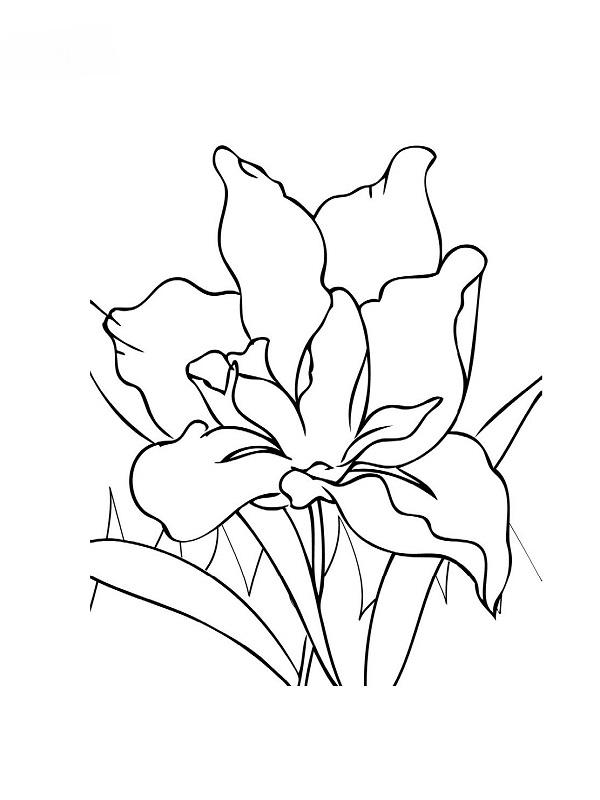 Coloriages de fleurs - Coloriage fleur iris ...